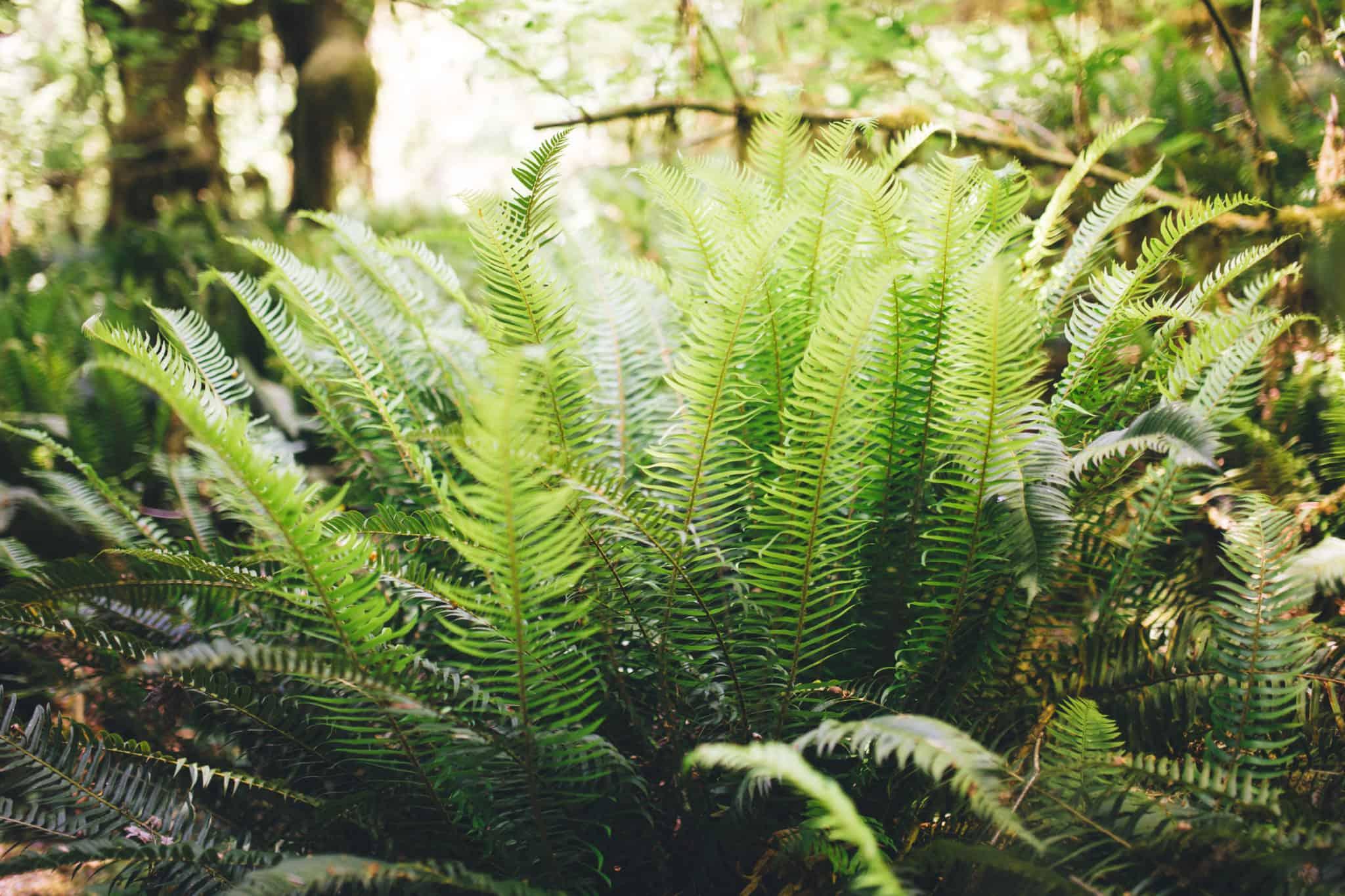 Olympic Peninsula Road Trip - Hoh Rainforest