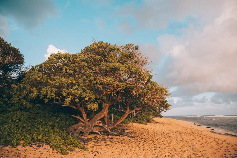 Large tree at Larsen's Beach, Kauai Hawaii