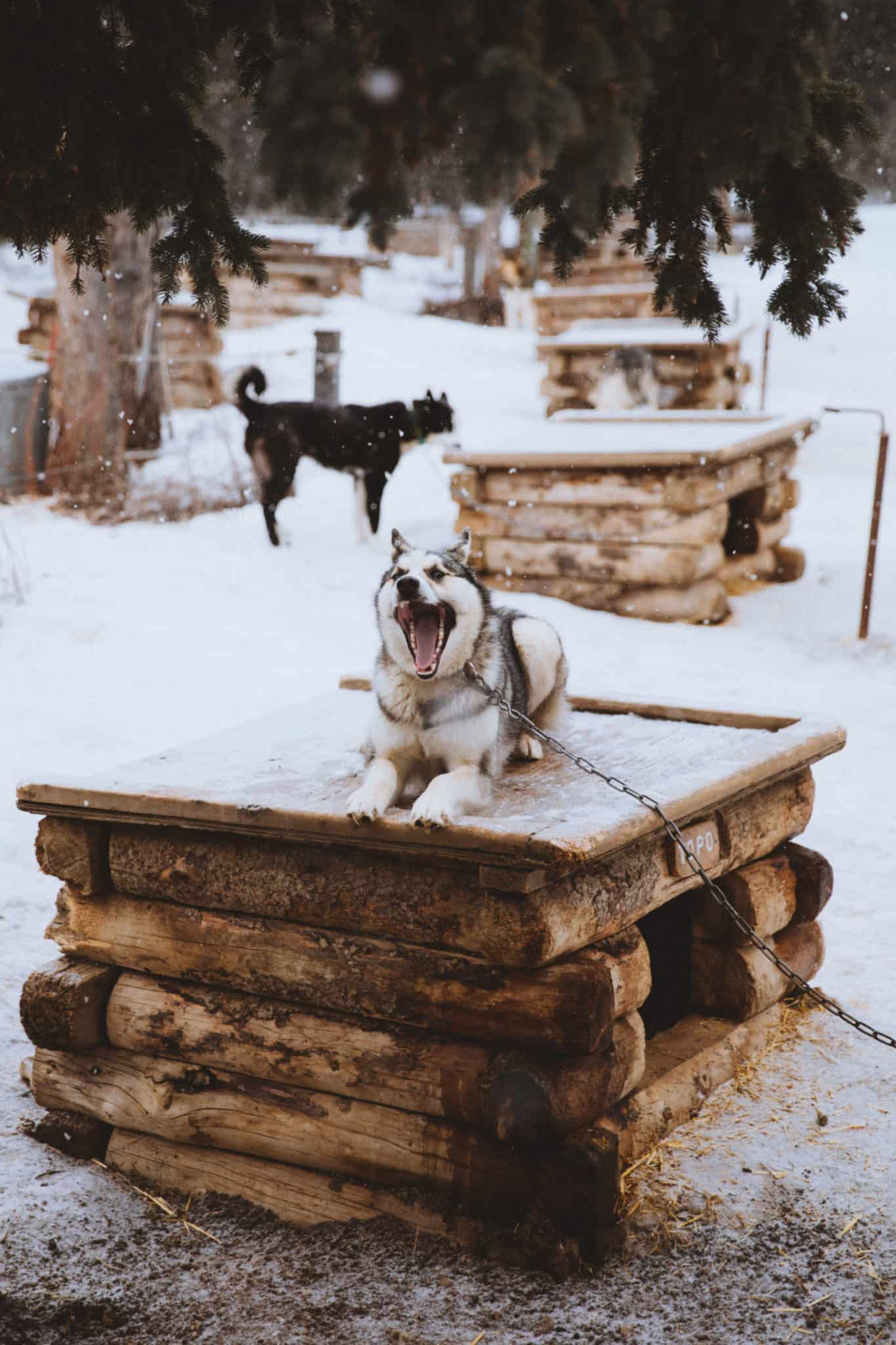 Things To Do In Fairbanks - Denali Kennel Dogs