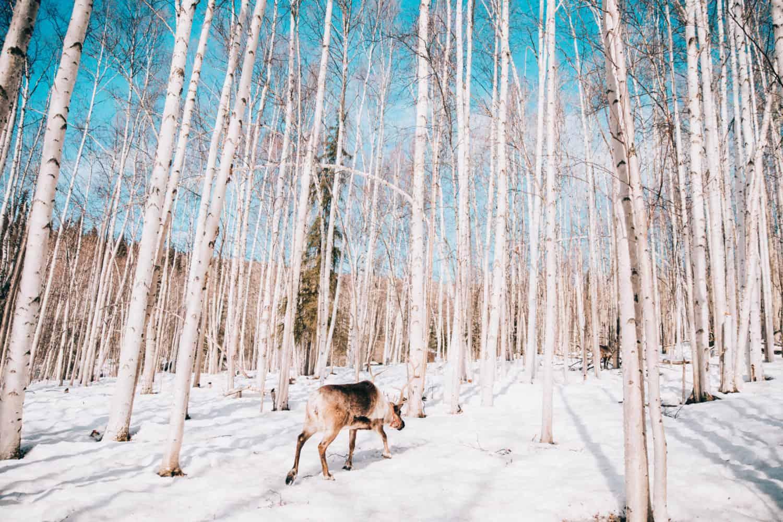 Running Reindeer Ranch - Fairbanks, Alaska - Best Alaska Trip - TheMandagies.com