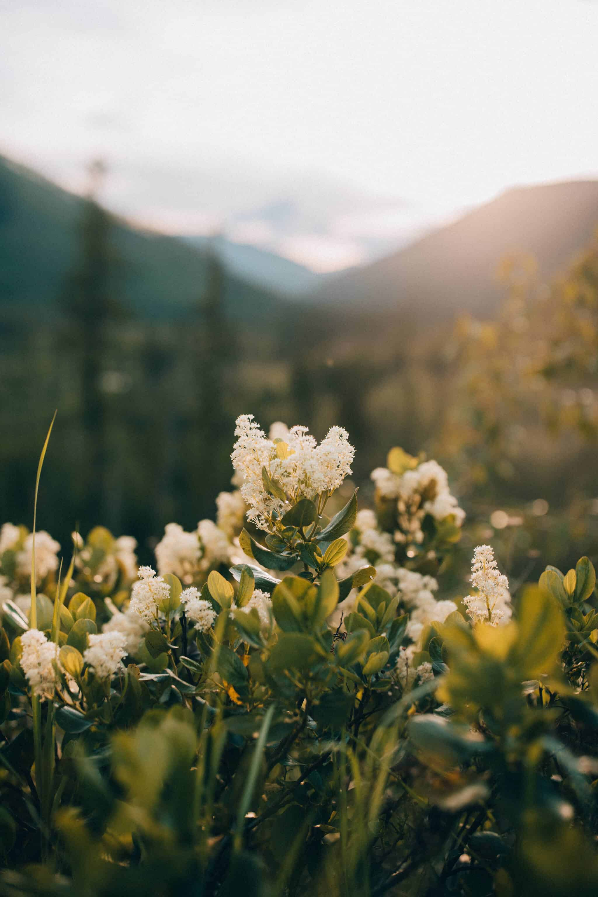 wildflowers in Montana
