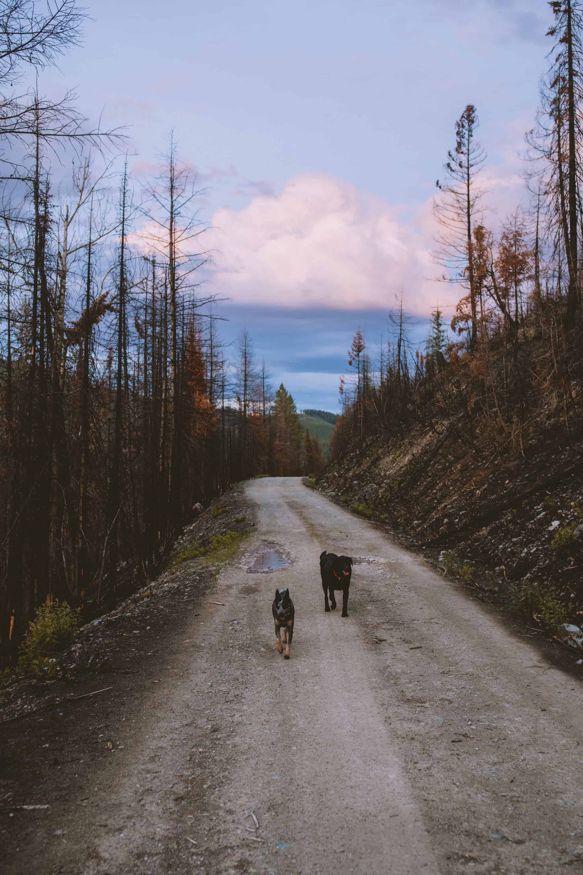 dogs on a dirt backcountry camping road