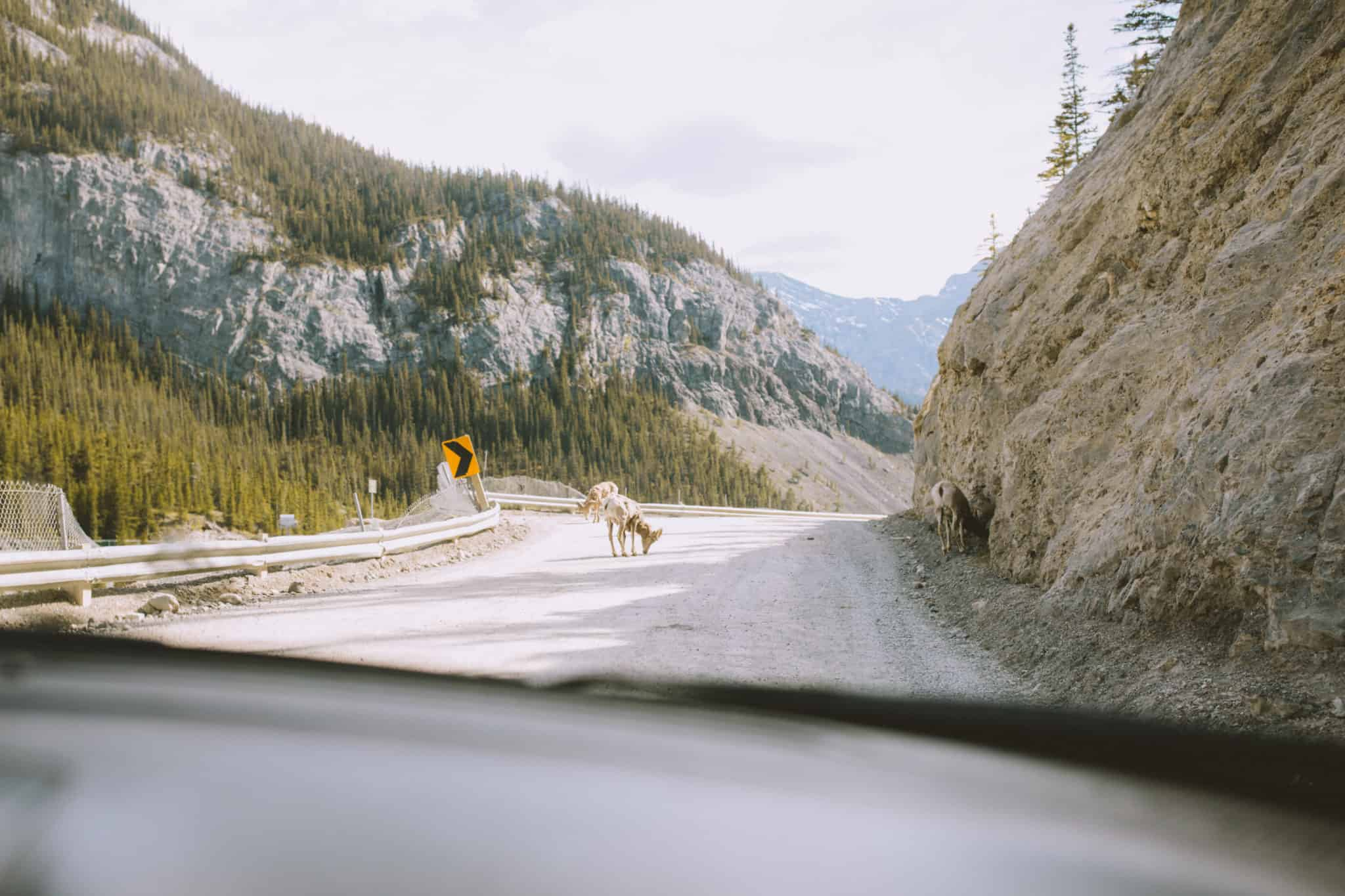 Goat on the highway to East End of Rundle, Banff