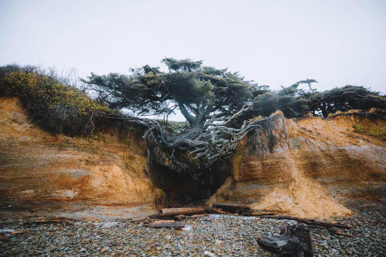 Kalaloch Tree Roote Cave, Tree of Life View - TheMandagies.com