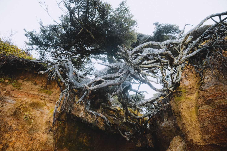Kalaloch Tree Root Cave, Tree of Life close up