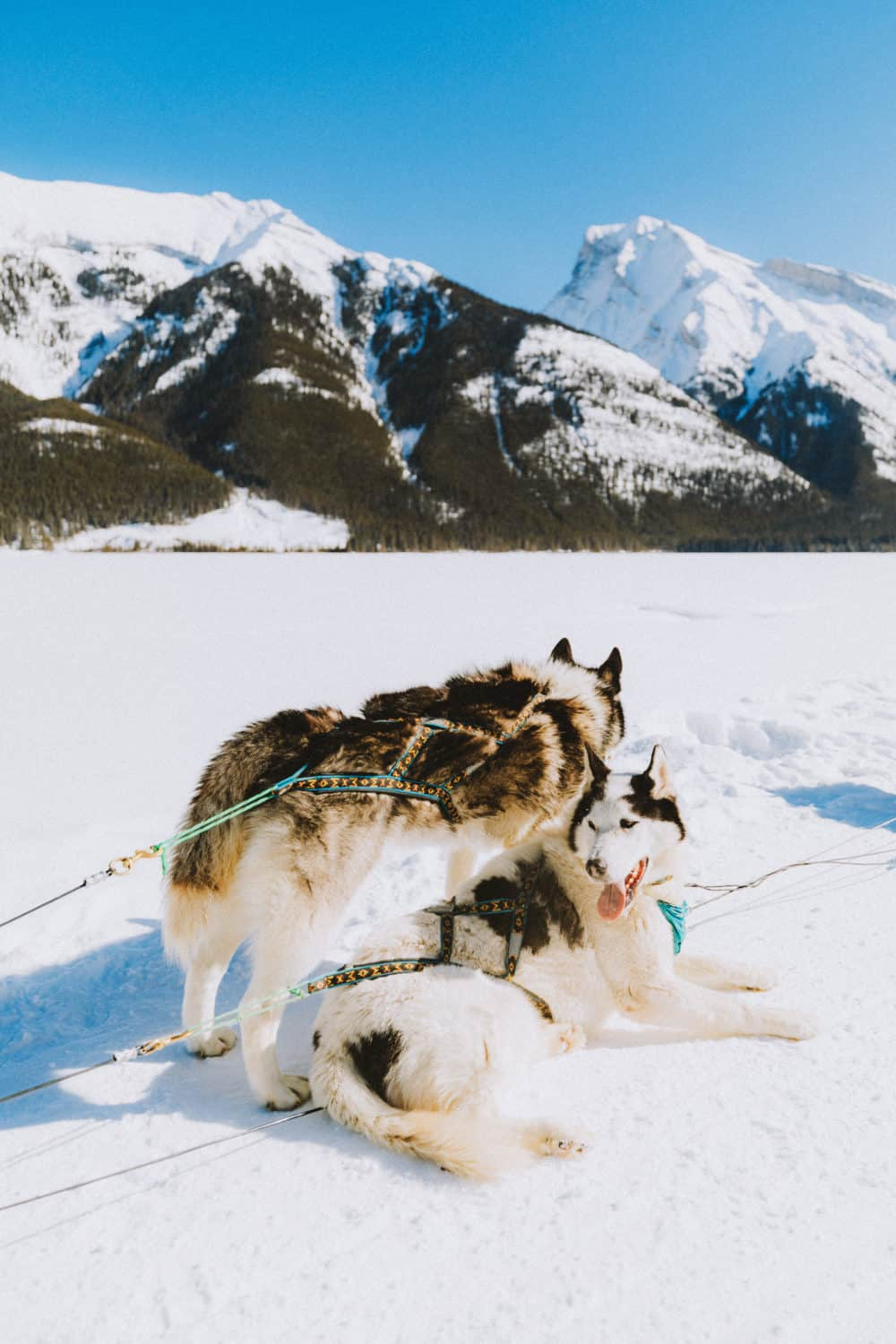 dog sledding pups - themandagies.com