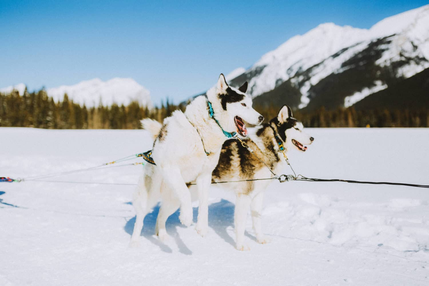 Excited Sled Dogs On Banff National Park - TheMandagies.com