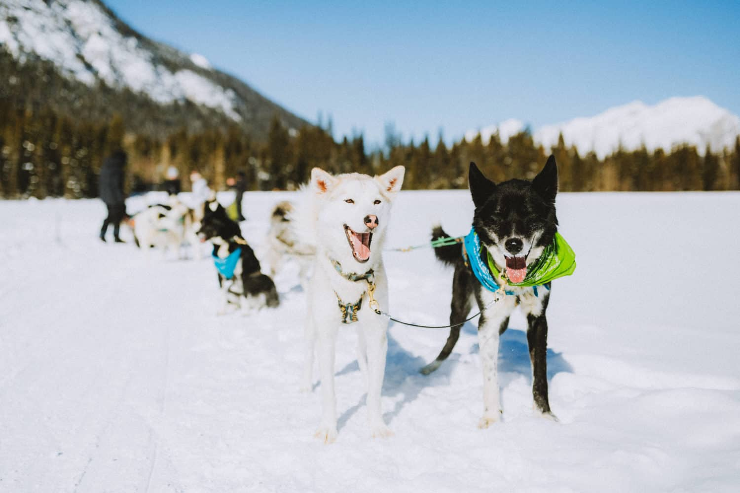 Happy Sled Dogs In Banff National Park