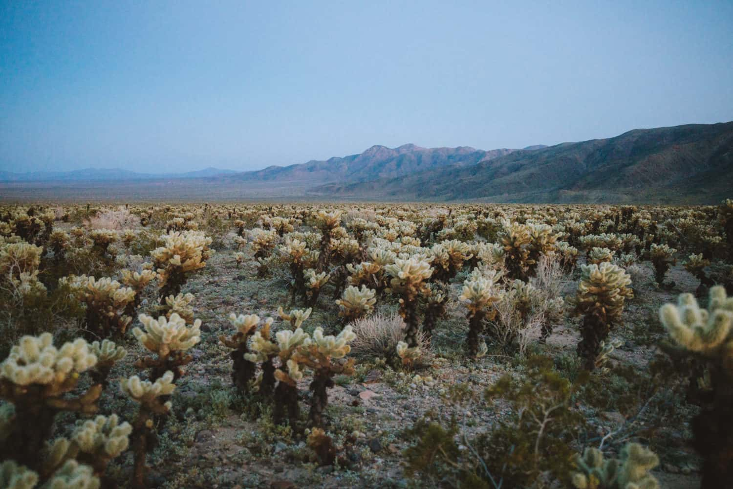 Cholla Cactus Garden at Dusk shot with Canon EOS R