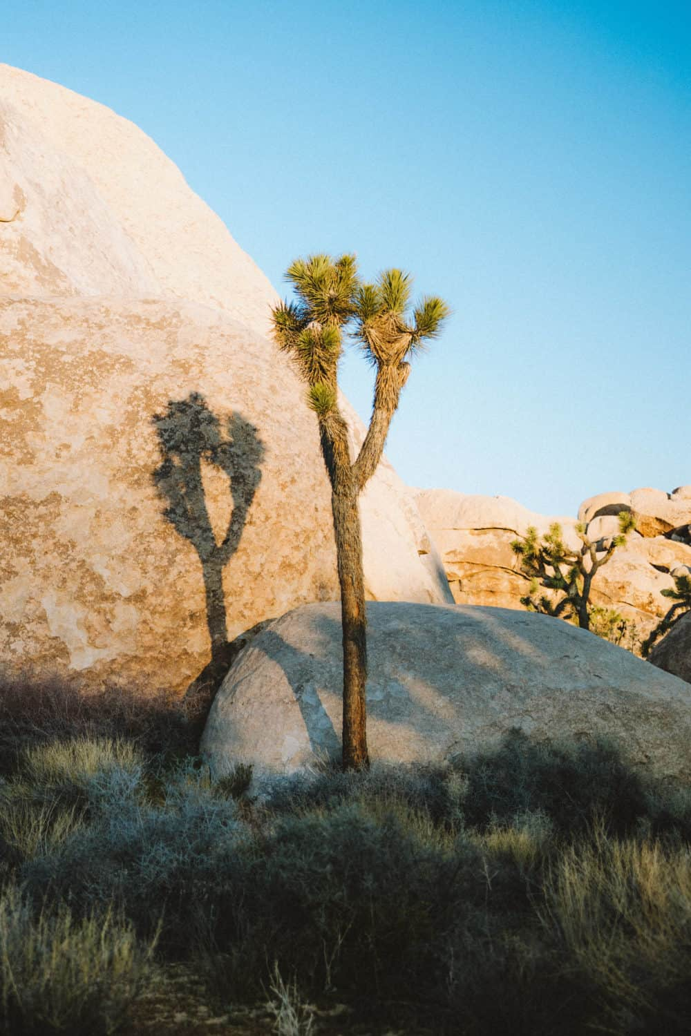Joshua Tree in Morning shot with Canon EOS R