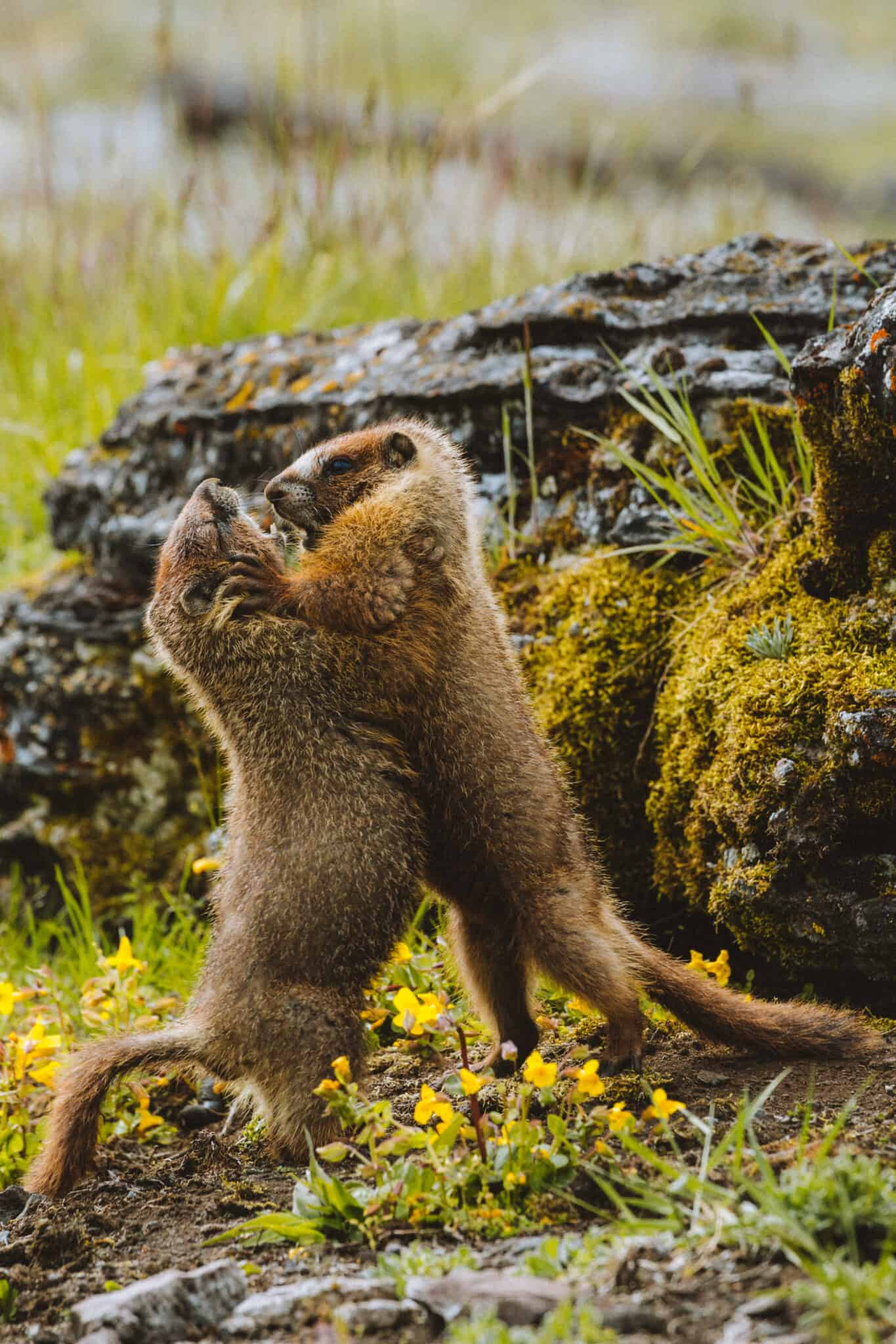Marmots Playing in Yellowstone National Park