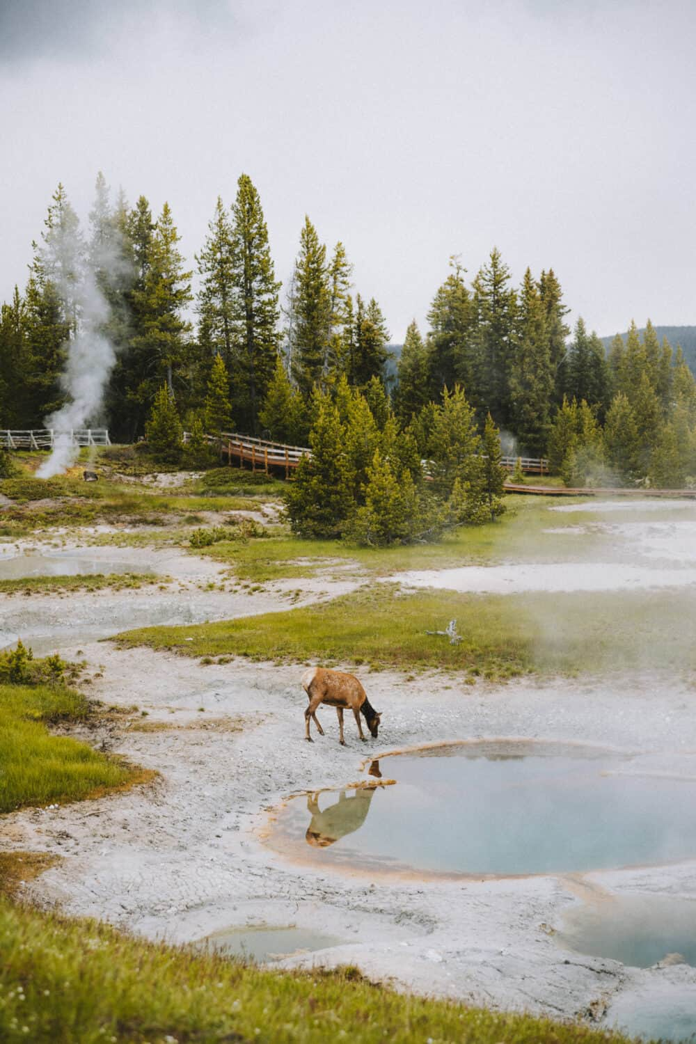 Deer at West Thumb Geyser Basin - Yellowstone National Park