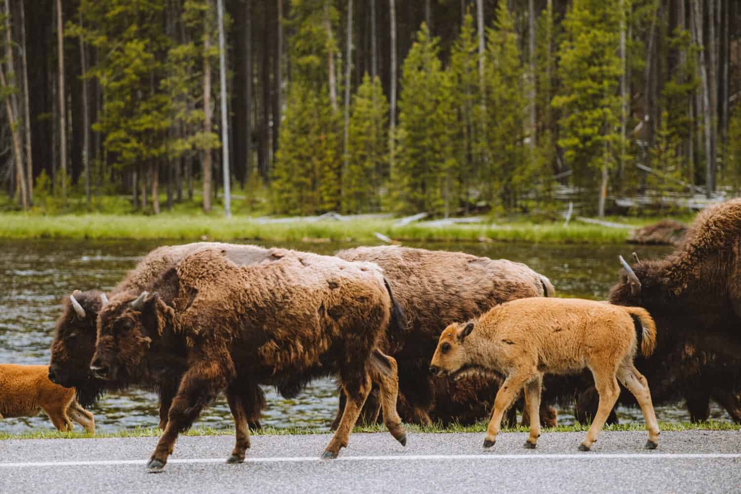 Yellowstone Wildlife - Bison and baby bison