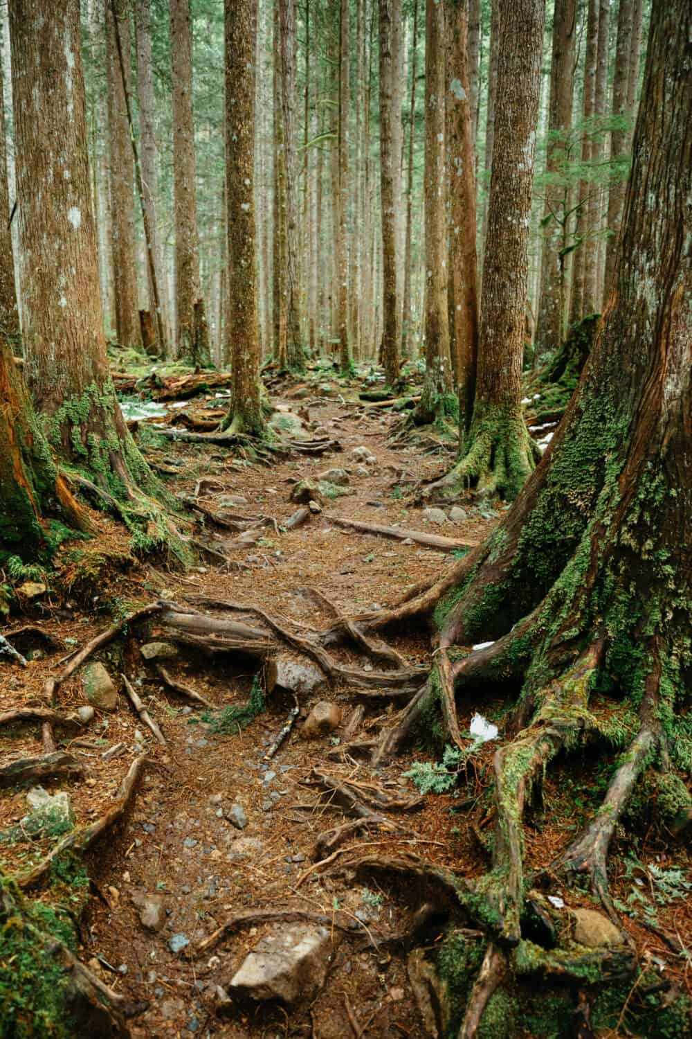 Tree Roots visible on trail along Wallace Falls Hike, Washington - TheMandagies.com