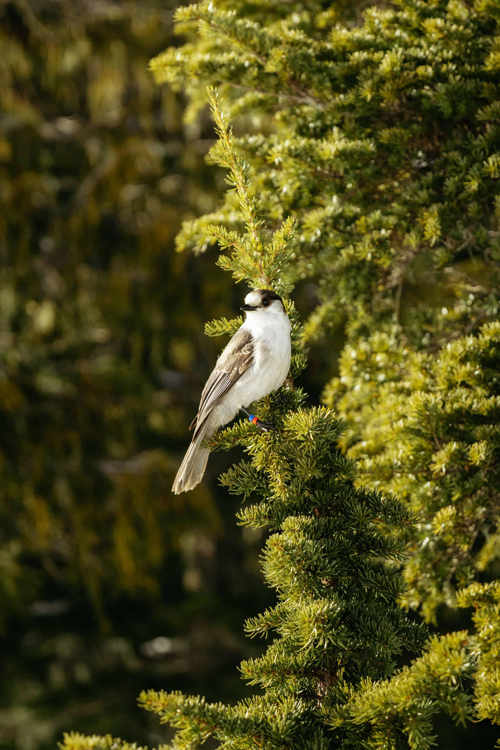 Whiskey Jack Birds - Strathcona Provincial Park - TheMandagies.com