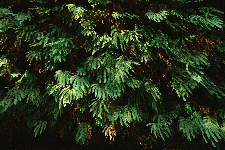 Jurassic Park - like ferns in Fern Canyon