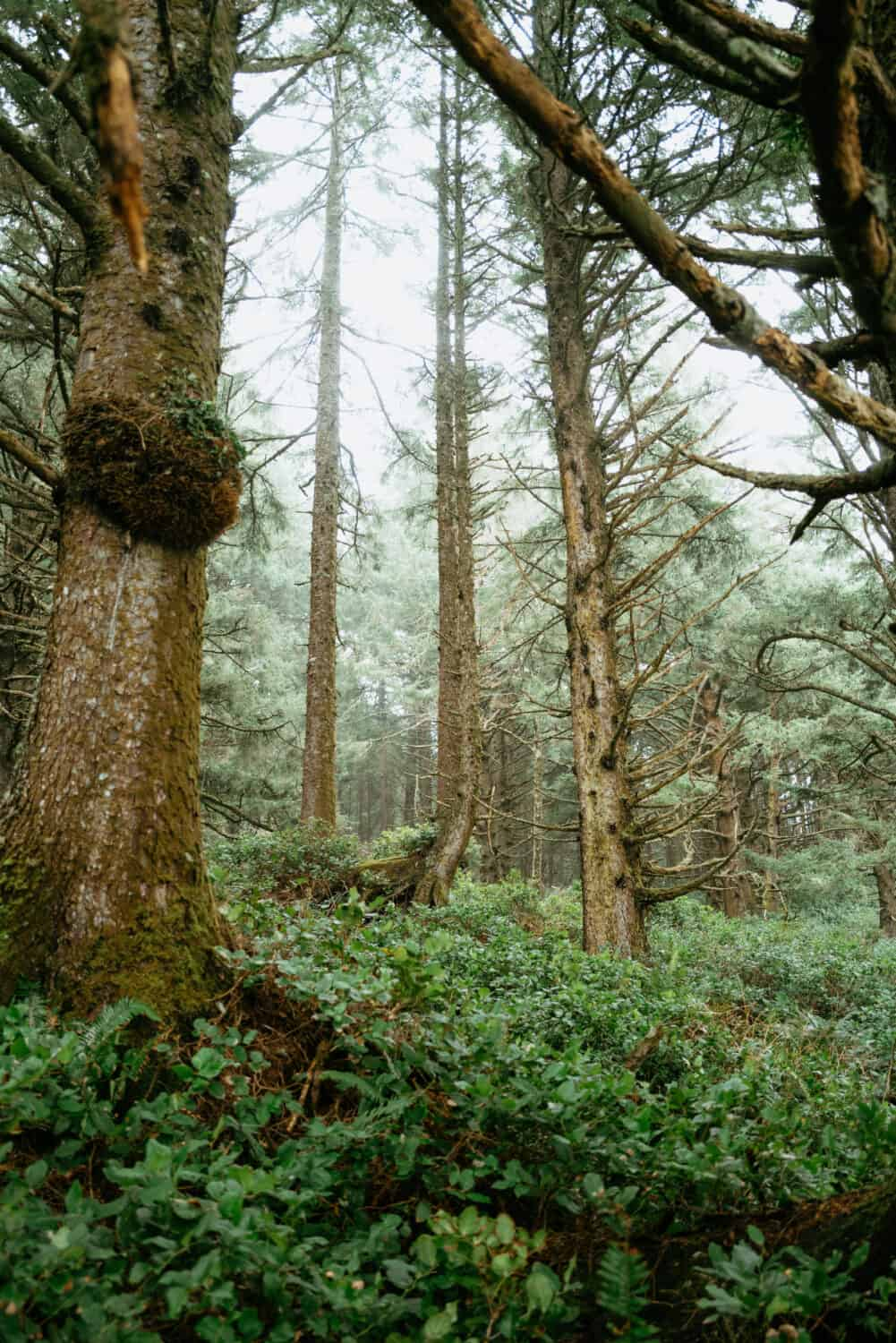 Tall Sitka Spruce Trees in the Pacific Northwest